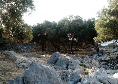Olive trees growing in Fortress Sutvrač Lopud